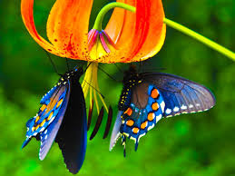 butterfly with flowers wallpapers al081b alhuda wallpaper