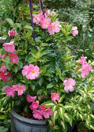 native climbing plants 100 climbing plants for shade in pots buy climbing rose