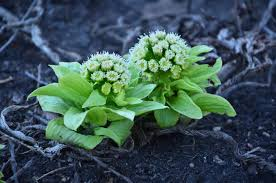 plants native to michigan zone five and a half prehistoric petasite and other native plants