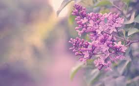 wallpaper branch color flowers lilac bush hd picture image u2022 onedslr