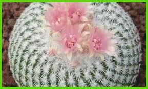 buy peruvian torch cactus best of seeds 10 epithelantha micromeris