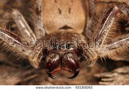 angry spider stock images royalty free images u0026 vectors