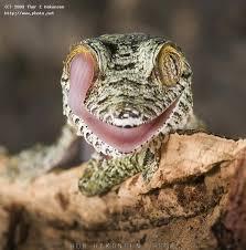 Seeking Lizard Uroplatus Fimbriatus Leaf Tailed Gecko