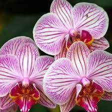 orchid pictures orchid dreams friends of lasdon park arboretum