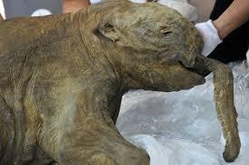 frozen baby mammoth display hong kong photos huffpost