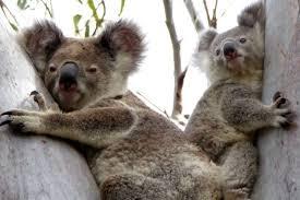 koalas facing u0027local extinction u0027 queensland u0027s fraser