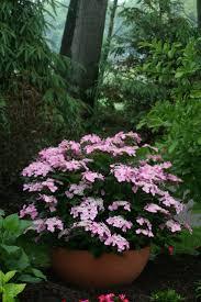 let u0027s dance starlight reblooming hydrangea hydrangea macrophylla