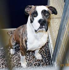 Seeking Pitbull Rescuers In San Jacinto Are Seeking A Home For This Pitbull Mix