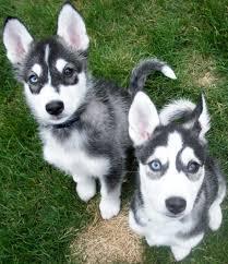 belgian sheepdog chow mix husky pitbull mix laura williams