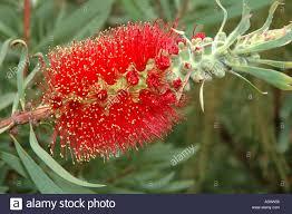australian native plant names red bottlebrush callistemon sp an australian native flower now