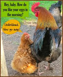 how do you like your eggs raising chickens humor pinterest