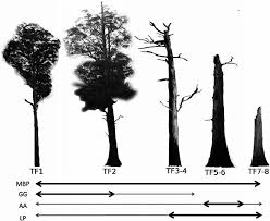 a subset of the decay stages of mountain ash trees used by arboreal