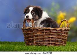 7 month old australian shepherd puppy australian shepherd puppy weeks black tri stock photos