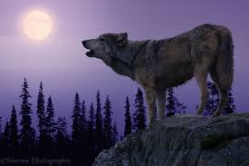 wolf howling at the moon photo wp05386