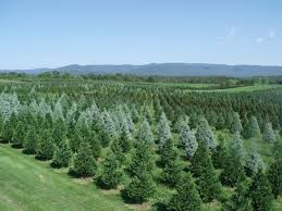 best 28 christmas tree farms in northern virginia pictures of