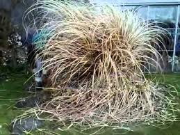 removing your pas grass on the outer banks