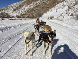 New friend Picture of Luna Lobos Dog Sledding Park City TripAdvisor