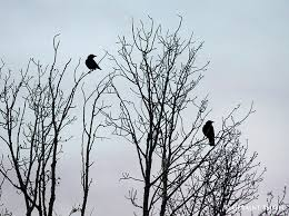 morning crows in the cottonwood tree san cristobal nm geraint