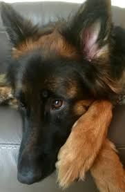 t jag s australian shepherds 17 best images about german shepherd on pinterest german