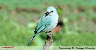 Verditer Blue Verditer Flycatcher Birderpics