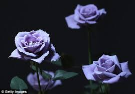 blue roses for sale pictured world s truly blue roses go on display in japan