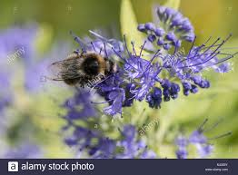 Bluebeard Flower - bees on bluebeard worcester gold caryopteris clandonensis stock