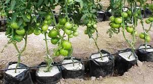 cara membuat cairan hidroponik cara menanam tomat dengan hidroponik sederhana