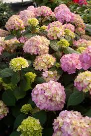 hydrangea endless summer bloomstruck bigleaf hydrangea