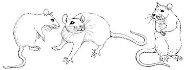 coloring page of a rat lab rats coloring pages rat coloring page free printable rat