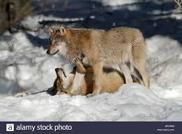 european wolf canis lupus two individuals in with one