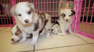 australian shepherd dog for sale australian shepherd puppies dogs for sale in atlanta georgia