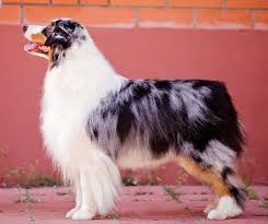 cut n loose australian shepherds australian shepherd seventy seven devoted to fraytal u0027 id 18580