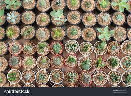 small cactus flower pot cactus sale stock photo 468074507