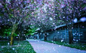 cherry blossom tree beautiful cherry blossom tree flower wallpaper 1221 wallpaper dexab