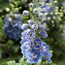 delphinium flower delphina light blue white bee delphinium from park seed