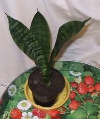 Air Purifying Plants 9 Air by Sansevieria Zeppy Io