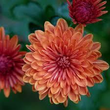november flowers orange chrysanthemum november baby chrysanthemums and maybelline