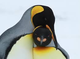 king penguins u2013 digital nomad
