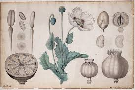 opium opium poppy botanical drawings papaver somniferum opiate