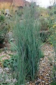 110 best grasses images on ornamental grasses grasses