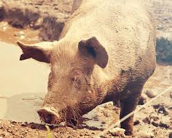 our pigs packington free range born and reared outdoors always