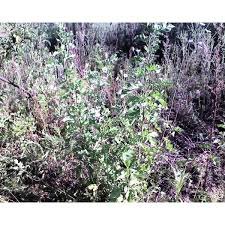 russian mulberry morus alba trees for sale cold farm
