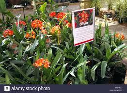 native flowering plants clivia plants in sydney a genus of monocot flowering plants
