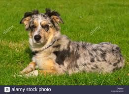 5 month australian shepherd 5 month old blue heeler puppy dog isolated on white background