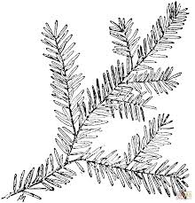 canadian hemlock branch coloring page free printable coloring pages