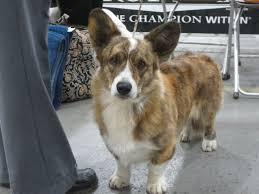 afghan hound national dog show 8 best philadelphia national dog show images on pinterest