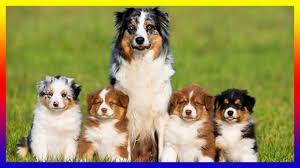 australian shepherd 2 months weight pregnant australian shepherds dog giving birth to many cutes