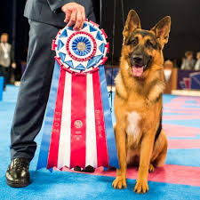 australian shepherd trackid sp 006 278 best images about german shepherd love on pinterest dog show