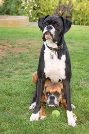 boxer dog funny best 25 black boxer dog ideas on pinterest black boxer puppies