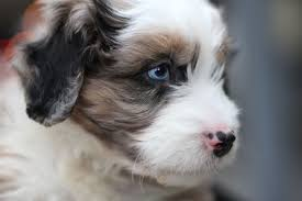 australian shepherd and poodle cute puppy dogs cute australian shepherd puppies